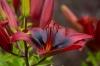 Dendrologická zahrada Průhonice - Lilium London Heart