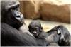 zoo-praha-gorili-mlade-kiburi