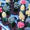 Výstava kaktusů a sukulentů v Botanické zahradě Na Slupi